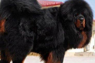 Собака мастиф черного цвета с рыжими отметинами