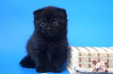 Черный вислоухий кот