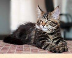 Молодой полосатый котик