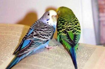 Светло-голубой и зеленый волнистый попугай