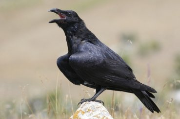 Ворон кричит