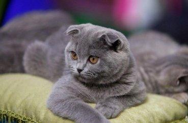 Вислоухий кот серого цвета