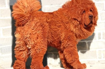Собака мастиф кирпичного окраса