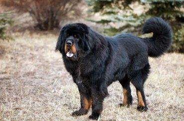 Собака мастиф черного цвета с бежевыми отметинами и белым пятном на груди