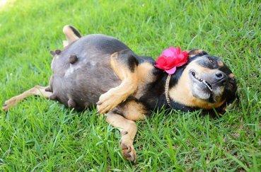 Беременная собака лёжа