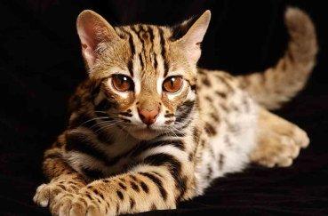 Котенок тойгер