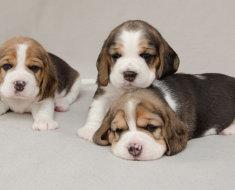 Трехмесячные щенки