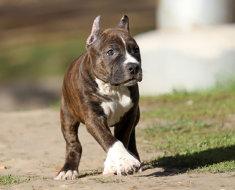 Подросший щенок амстаффа