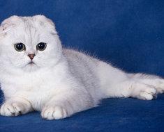 Белый вислоухий кот