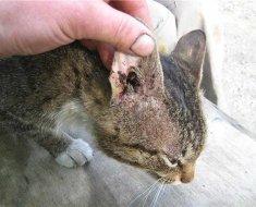 Кошка с пораженным паразитами ухом