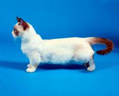 Кот такса Манчкин