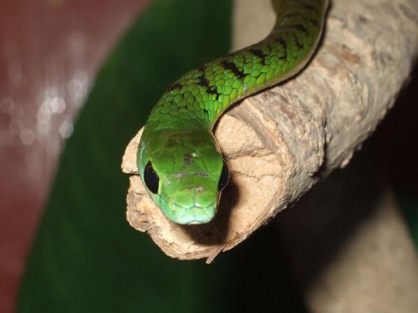 Фото змеи Бумсланг
