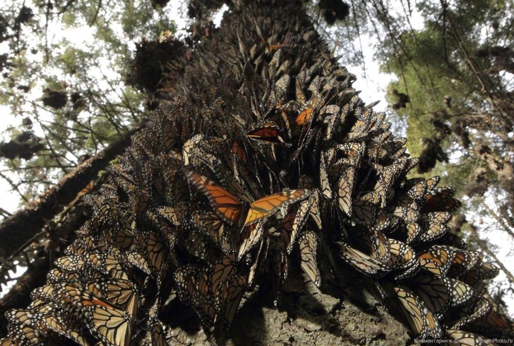 Монархи на дереве
