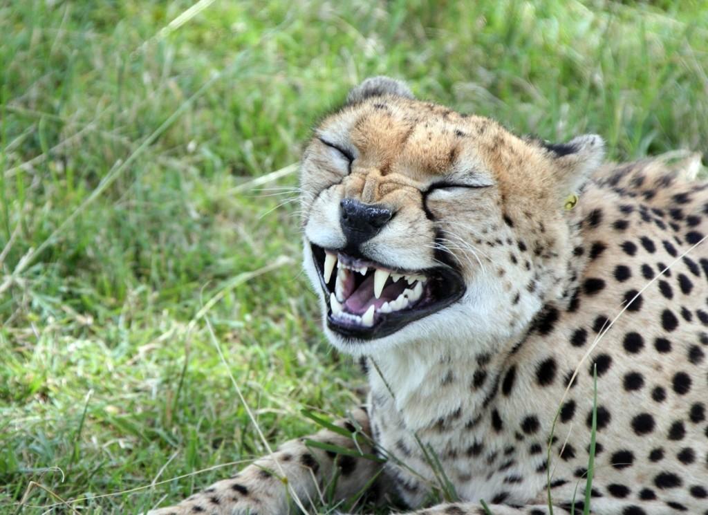 Урчальник гепард
