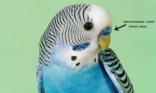 Синий цвет восковицы у самца