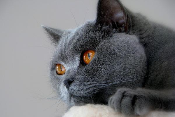 Голова кота крупным планом