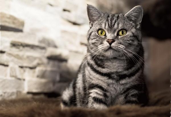 Кот полосатый крупным планом