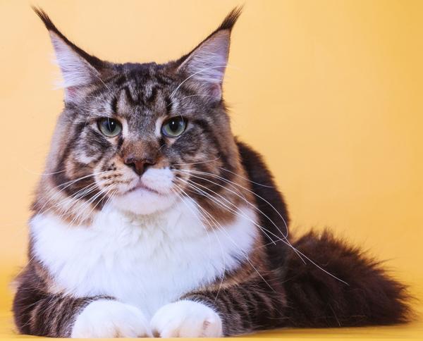 Большой кот крупным планом
