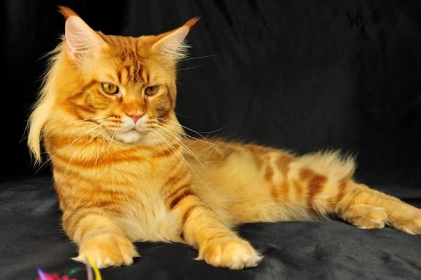 Крупный рыжий кот лежит