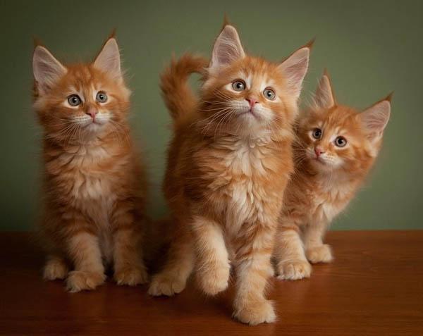 Три рыжих котенка крупным планом