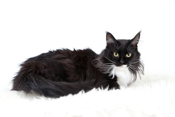 Черно-белый кот окраса биколор