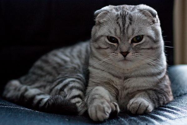 Полосатый вислоухий котик