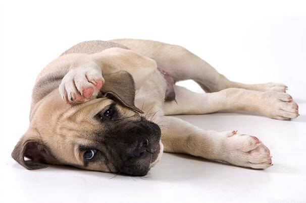 Собака чешет ухо