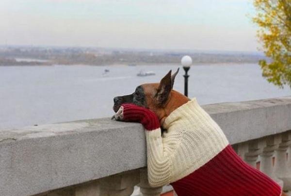 Пес в свитере