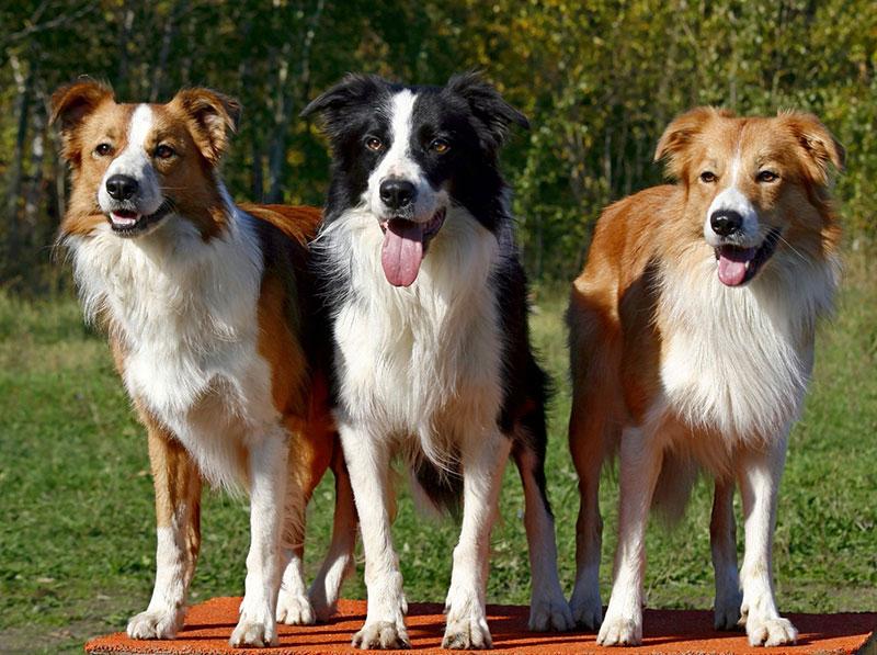 Три собаки на полянке