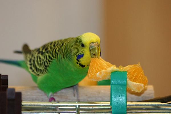 Птичка ест мандарин
