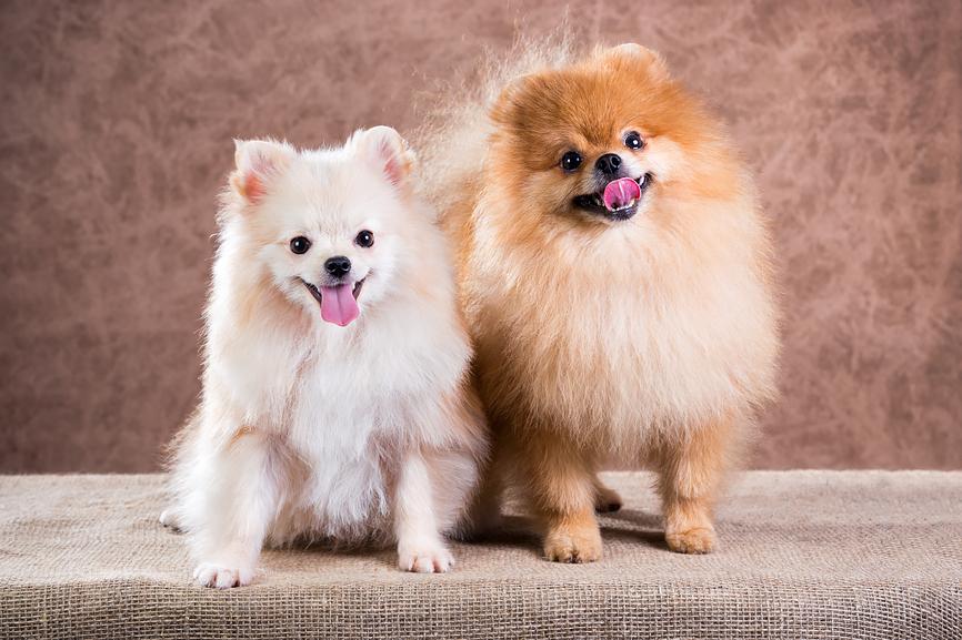 Две пушистые собачки
