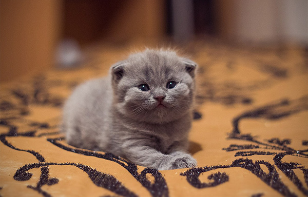 Маленький вислоухий котенок