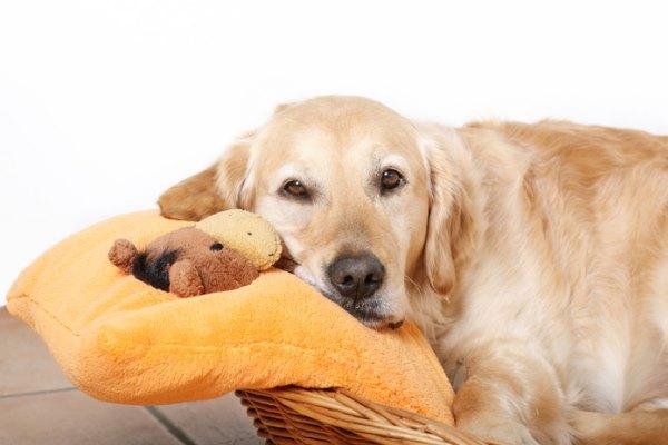 Любимица отдыхает на подушке