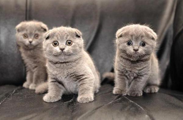 Три серых котенка