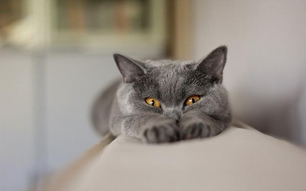 Забавный пухлый котик прячется за лапками