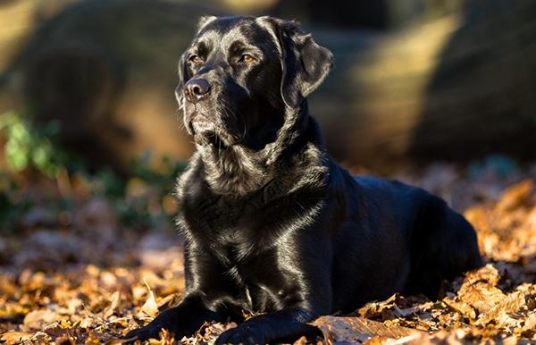 Черная собака в листьях