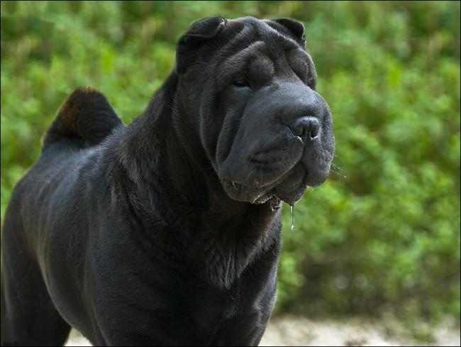 Шарпей в черном окрасе