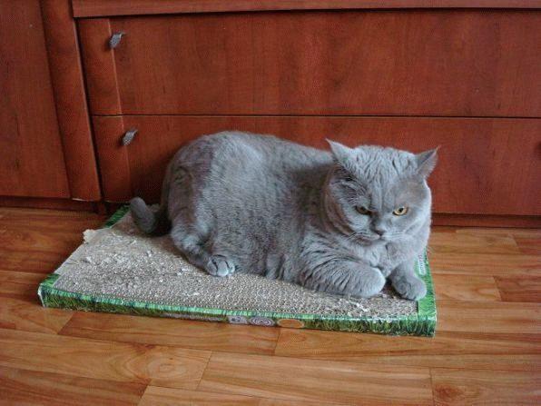 Кот точит когти об плоскую когтеточку