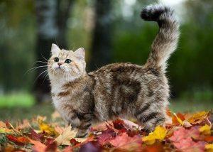 Кот породы Манчкин