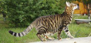 Фото кота тойгера