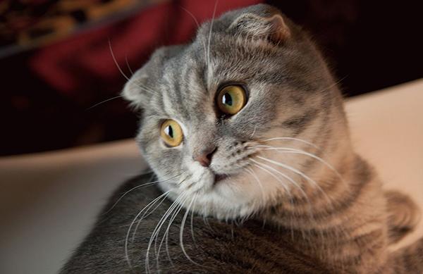 Красивая серая кошка