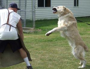 Тренировка охранного пса