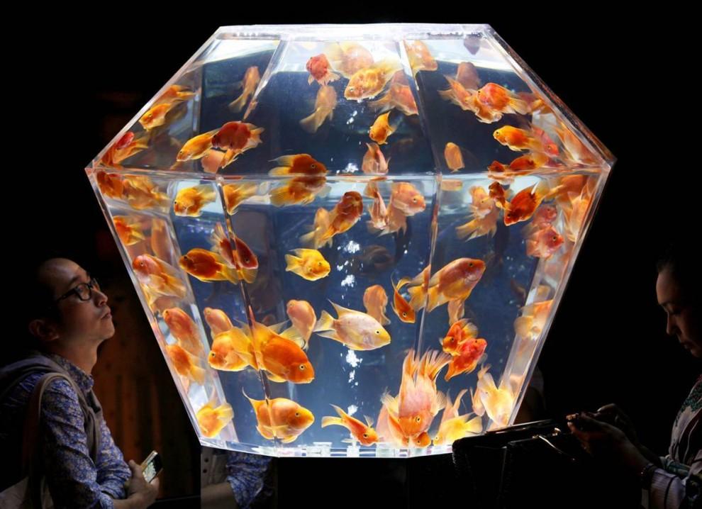 Много особей в одном аквариуме