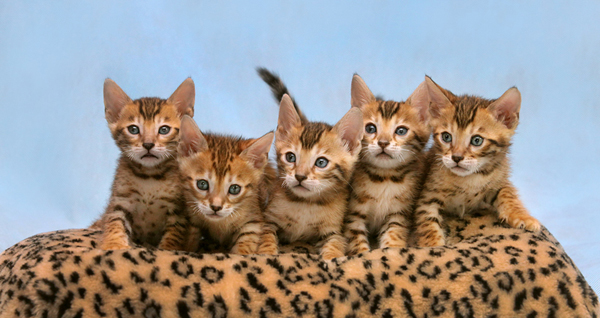 Пять маленьких породистых котят