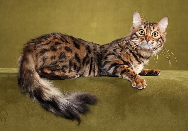 Длинношерстная красавица-кошка лежит