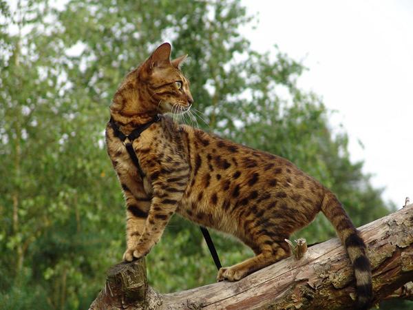 Кошка в поводке стоит на дереве