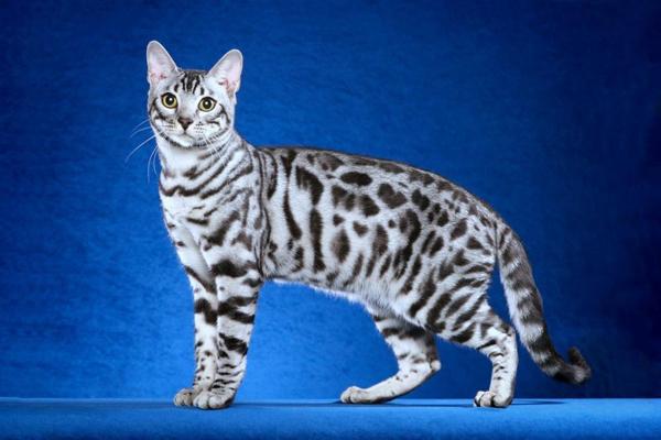 Породистая кошка с серебряной шубкой