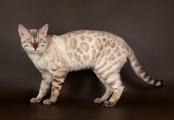 Кот светлого окраса - снежный бенгал