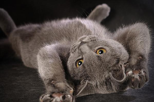 Британский голубой котенок