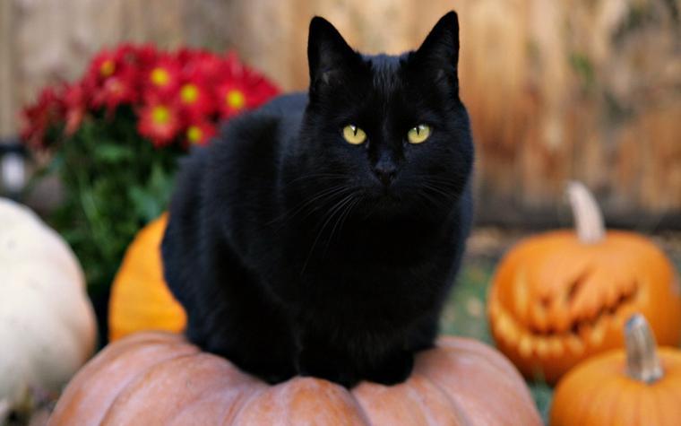 Черная кошка на тыкве
